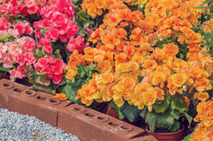 Yellow begonia flowers Royalty Free Stock Photography
