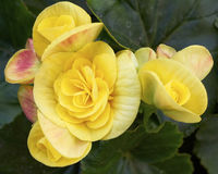 Yellow begonia flowers closeup Royalty Free Stock Image