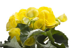 Yellow begonia flowers Royalty Free Stock Photo
