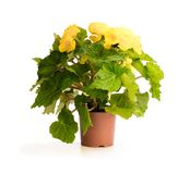 Yellow Begonia plant in the flowerpot isolated on white stock photo