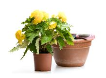 Yellow Begonia plant in the flowerpot isolated on white. Ready. For planting stock images