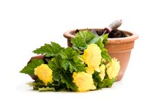 Yellow Begonia plant in the flowerpot isolated on white. Ready. For planting stock photography