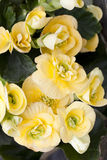 Yellow begonia. In pot in flower shop Stock Photos