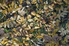 Yellow, beige and brown leaves in the grass. Yellow, beige and brown fallen leaves in the grass royalty free stock photography