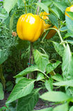 Yellow bell pepper plant Royalty Free Stock Image