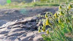 Yellow bellflower sunlight in mountains closeup Stock Photo