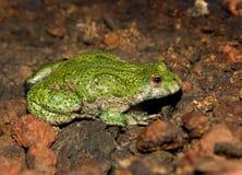 Yellow-bellied пожар-bellied жабы. Стоковые Изображения RF