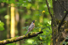 Yellow-bellied bird on a tree branch Stock Photo