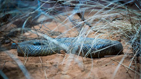 Yellow bellied black snake Stock Images