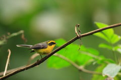 Yellow-bellied Fantail Royalty Free Stock Photos