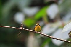 Yellow-bellied Fantail Stock Photography