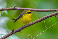 Yellow-bellied Fantail (Chelidorhynx hypoxantha) Stock Photography