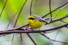 Yellow-bellied Fantail Royalty Free Stock Photo