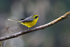 Yellow-bellied Fantail Rhipidura hypoxantha Royalty Free Stock Photography