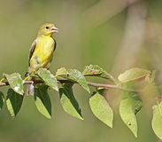 Yellow-bellied flycatcher Royalty Free Stock Image