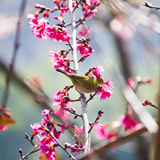 Yellow bellied flycatcher bird on Wild Himalayan Cherry tree in Royalty Free Stock Photography