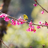 Yellow bellied flycatcher bird on Wild Himalayan Cherry tree in Royalty Free Stock Photos