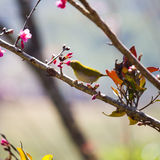 Yellow bellied flycatcher bird on Wild Himalayan Cherry tree in Stock Image