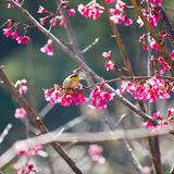 Yellow bellied flycatcher bird on Wild Himalayan Cherry tree in Royalty Free Stock Photo