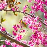 Yellow bellied flycatcher bird on Wild Himalayan Cherry tree in Stock Photos