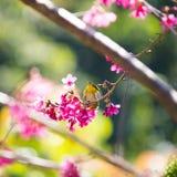 Yellow bellied flycatcher bird Royalty Free Stock Image