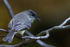 Yellow-bellied flycatcher Stock Image