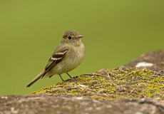 Yellow-bellied Flycatcher Royalty Free Stock Photography