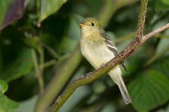 Yellow-bellied Flycatcher Stock Images