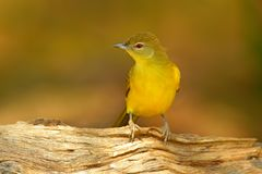 Yellow-bellied Greenbul, Chlorocichla flaviventris, African song bird sitting on the old tree trunk, nature habitat, Chobe Nationa. L Park, Botswana, Africa royalty free stock photos