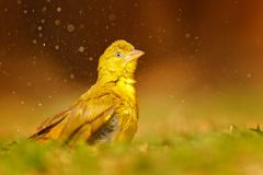 Yellow-bellied Greenbul, Chlorocichla flaviventris, African song bird splashing in the water, green summer grass, nature habitat,. Chobe National Park, Botswana royalty free stock image