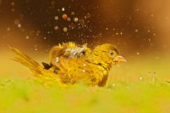 Yellow-bellied Greenbul, Chlorocichla flaviventris, African song bird splashing in the water, green summer grass, nature habitat,. Chobe National Park, Botswana stock photos