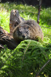 Yellow Bellied Marmot Stock Photography