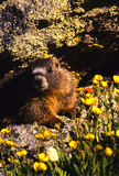 Yellow-bellied Marmot Stock Photography