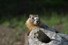 Yellow-bellied Marmot. Peeks out from his home Stock Photo