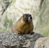 Yellow Bellied Marmot Royalty Free Stock Photos