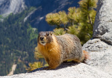 Yellow bellied marmot Stock Photo