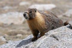 Yellow-bellied marmot Fotografering för Bildbyråer