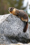Yellow-bellied marmot Arkivbilder