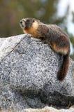 Yellow-bellied marmot Стоковые Изображения