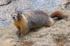 Yellow-bellied marmot arkivbild