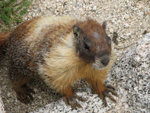 Yellow-bellied Marmot. (Marmota flaviventris) climbs up on a rock Royalty Free Stock Photos