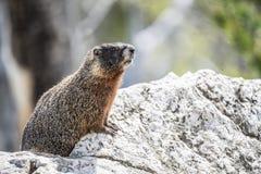 Yellow-bellied Marmot Royalty Free Stock Photo