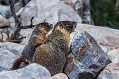 Yellow Bellied Marmot. Adult Female Yellow Bellied Marmot, aka Rock Chuck, With Pup in Great Basin National Park, Nevada stock photos