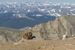 Yellow-bellied Marmot in the Alpine Stock Photo