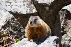 Yellow-Bellied Marmot Royalty Free Stock Images