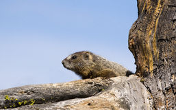 Yellow-bellied marmot in decayed tree on tree limb Royalty Free Stock Photos