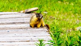 Yellow bellied Marmot in the Alpines of Tod Mountain, BC, Canada Stock Images