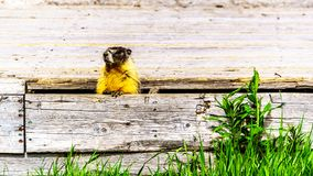 Yellow Bellied Marmot hiding in an old wooden platform in the high Alpine of Tod Mountain in the Shuswap Highlands. Of British Columbia, Canada stock photos