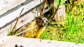 Yellow Bellied Marmot hiding in an old wooden platform in the high Alpine of Tod Mountain in the Shuswap Highlands. Of British Columbia, Canada stock photography
