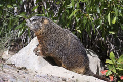 Yellow-bellied marmot iat burrow with narrow leaf cottonwood tre Stock Photos